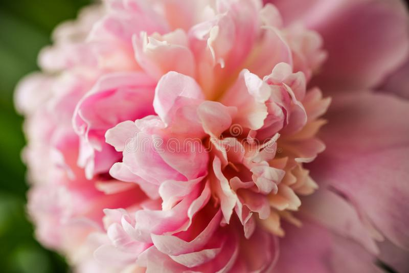 Blurred pink peony petals closely in soft light. Blossoming peony macro for prints, posters, design, covers, wallpapers, birthday. Cards. Nice garden flower royalty free stock images