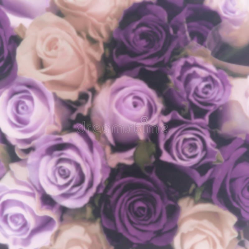Blurred purple roses. Blurred purple and pink roses romantic background. Instagram style stock photos