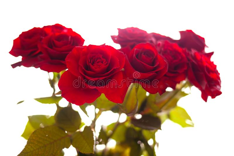 Blurred red roses on isolated background royalty free stock photos