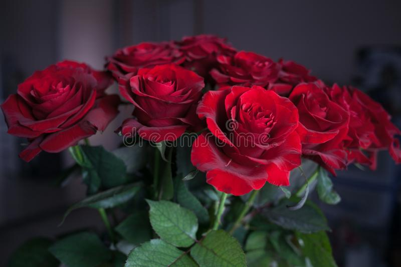 Blurred red roses on isolated background. Beautiful isolated bouquet of red roses on the blurred background. Gift on all holidays. Birthday, Valentines stock photography