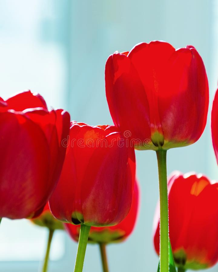 Blurred red tulips, backlight from the window stock photography
