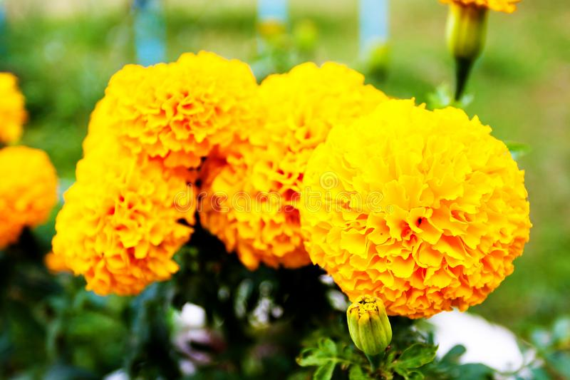 Blurred summer background with growing flowers calendula, marigold. Sunny day royalty free stock photo