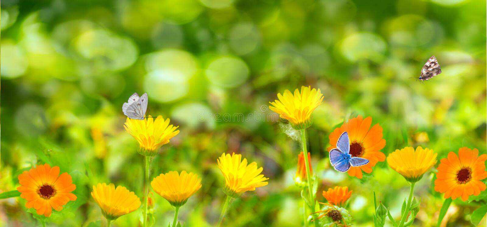 Blurred summer background with Marigold flowers field and butterflies in sunlight stock photo