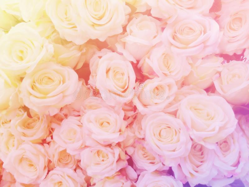 Blurred of sweet roses in pastel color style on soft blur bokeh texture for background.  royalty free stock images