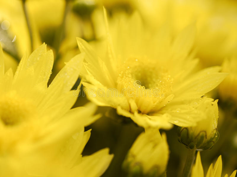 Blurred yellow flowers stock photography