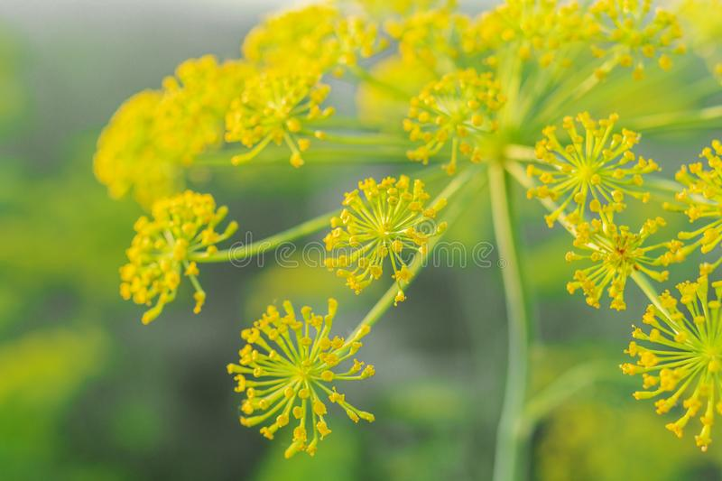 Blurred yellow flowers of dill in vegetable garden. Blossoming branch of Fennel Foeniculum vulgare . Conception of herbs and stock image