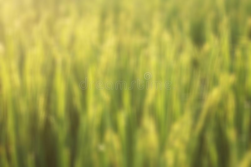 Blurry nature abstract background of field of wheat. Copy space for text or design. stock photos