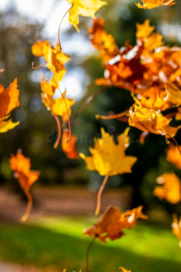 Blurry - Colorful orange and yellow leaves falling down in autumn royalty free stock photography