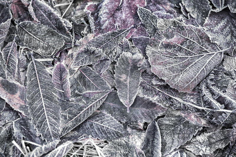 Blurry frozen leaves on forest ground. Selective focus used stock image