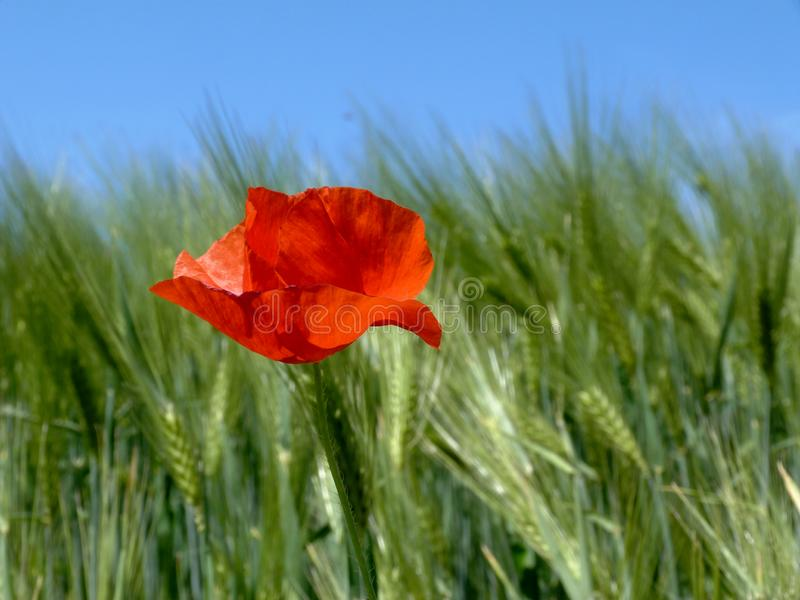 Blurry green barley field with fragile blooming red poppy stock photo