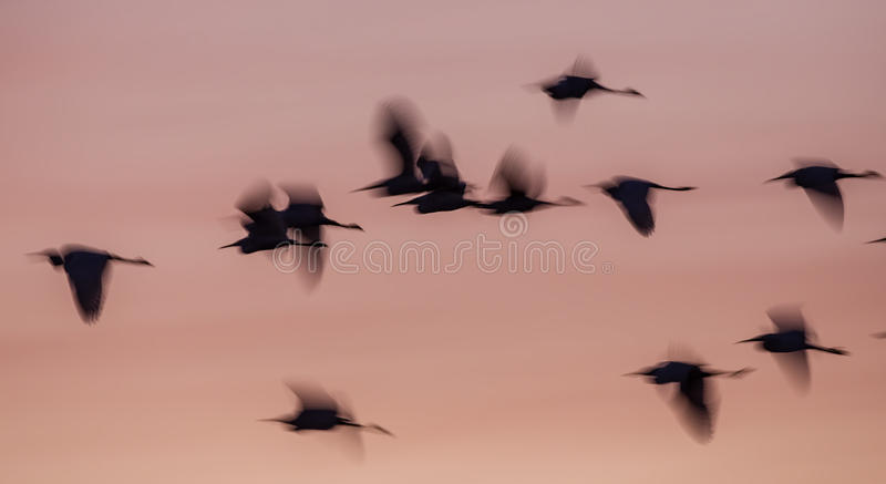 Blurry Little Egret Silhouettes at Sunrise. Flock of blurred little egrets (Egretta garzetta) in flight under pale light at sunrise