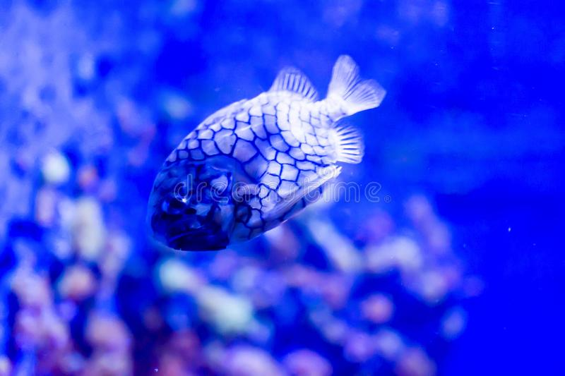 Blurry photo of Monocentridae Pinecone fishes in a sea aquarium stock images