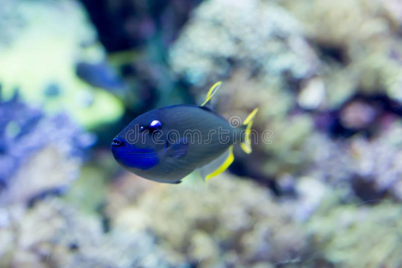 Blurry photo of a Scribbled angelfish Chaetodontoplus duboulayi in a sea aquarium royalty free stock photos