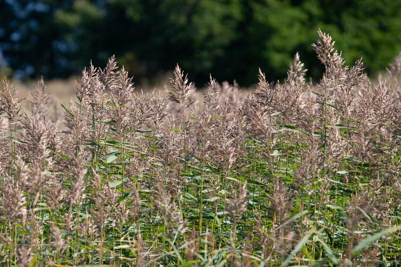 Blurry thickets of fluffy brown spikelets on the background of a blurred green forest. stock image
