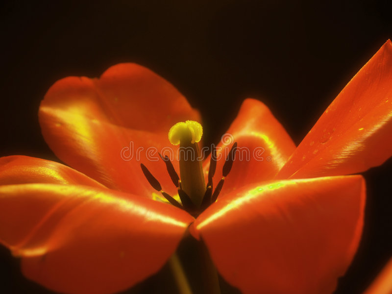 Blurry Tulip royalty free stock image