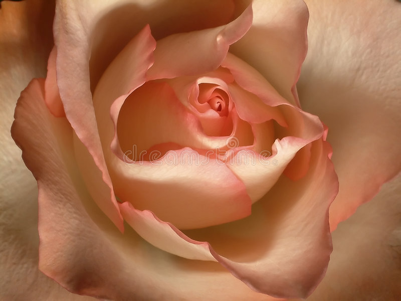 Download Blush rose stock photo. Image of close, creamy, beauty, petals - 32466