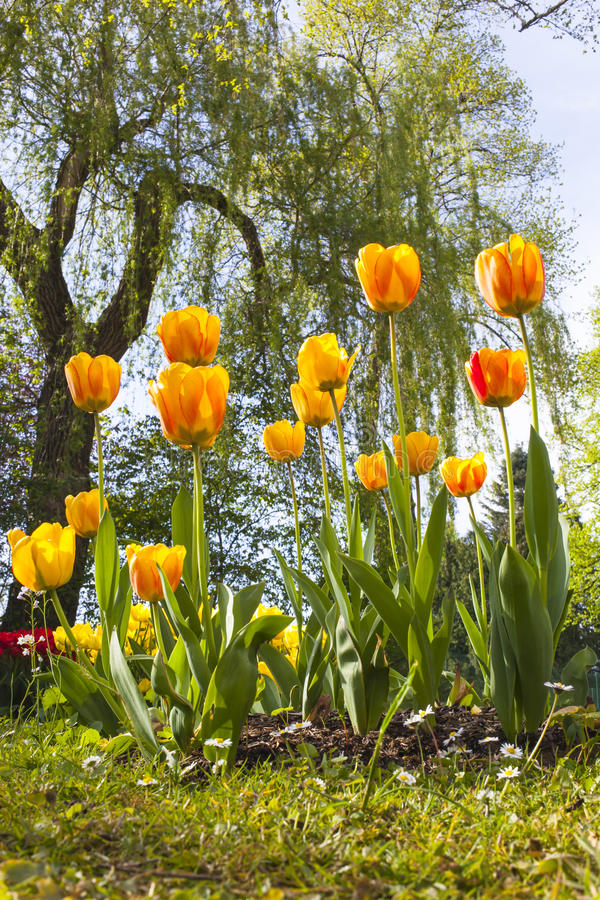 Blushing Apeldoorn tulips. Park in spring with a tree and a bed of orange and yellow Blushing Apeldoorn tulips royalty free stock images