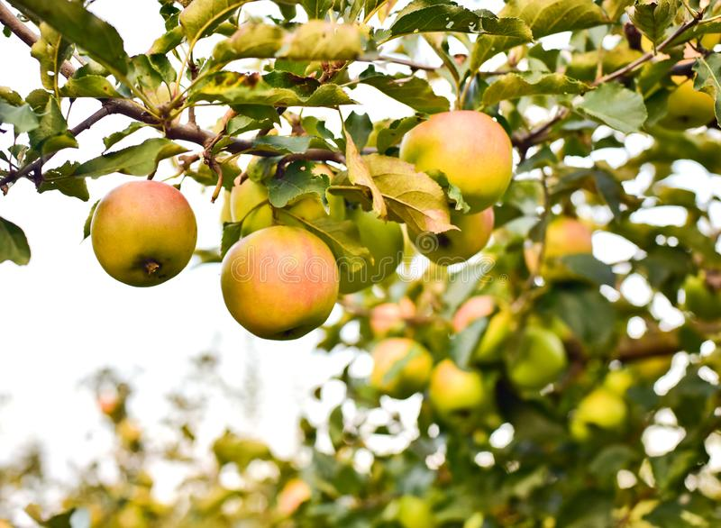 Blushing apples on the apple tree branch royalty free stock photos