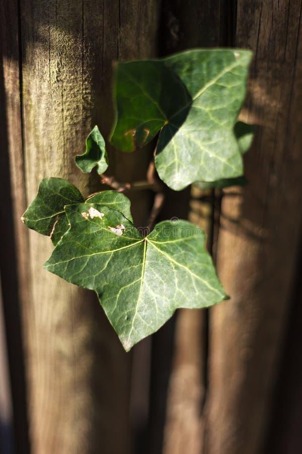 Bluszcz gurda, Coccinia grandis zieleń opuszcza na drewnianej ścianie i płyciznie zgłębiającej pole z bocznym światłem zdjęcie royalty free