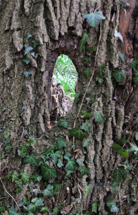 Bluszcz na drzewie obraz stock