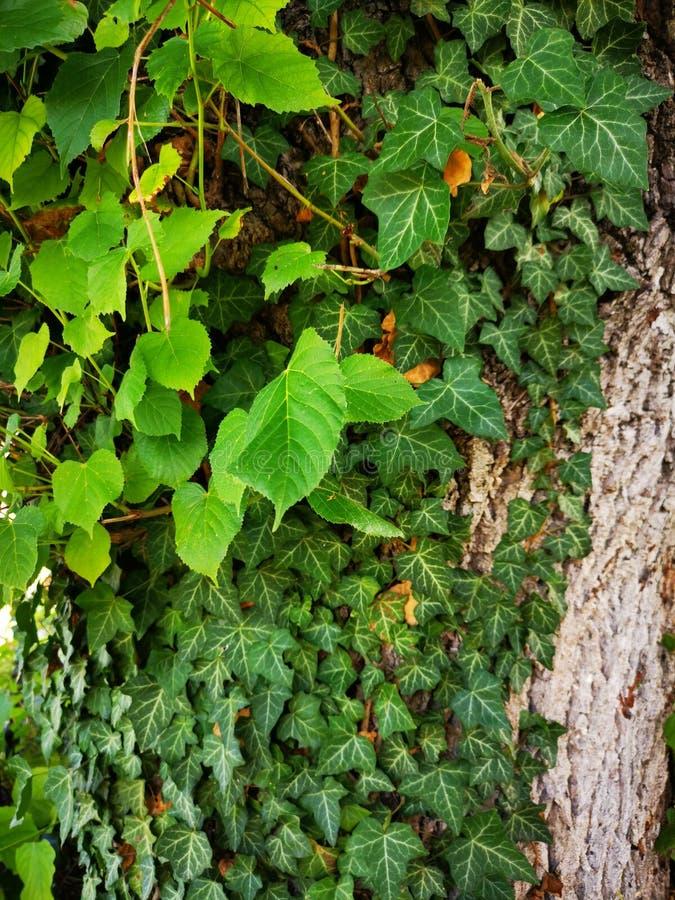 Bluszcz na drzewnego bagażnika zieleni liści zrozumieniu obraz stock