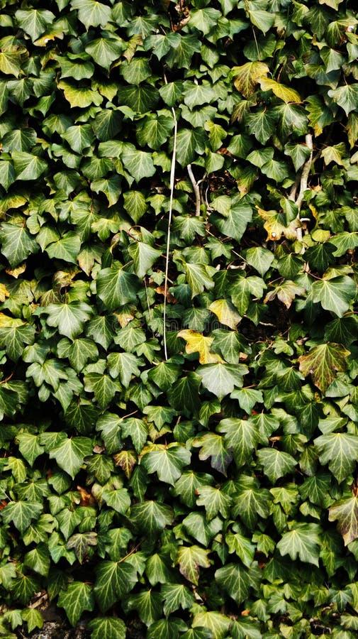 Bluszcz w halnym lesie zdjęcie stock