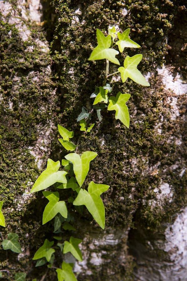 Bluszcz wspina się drzewa w lesie obraz stock