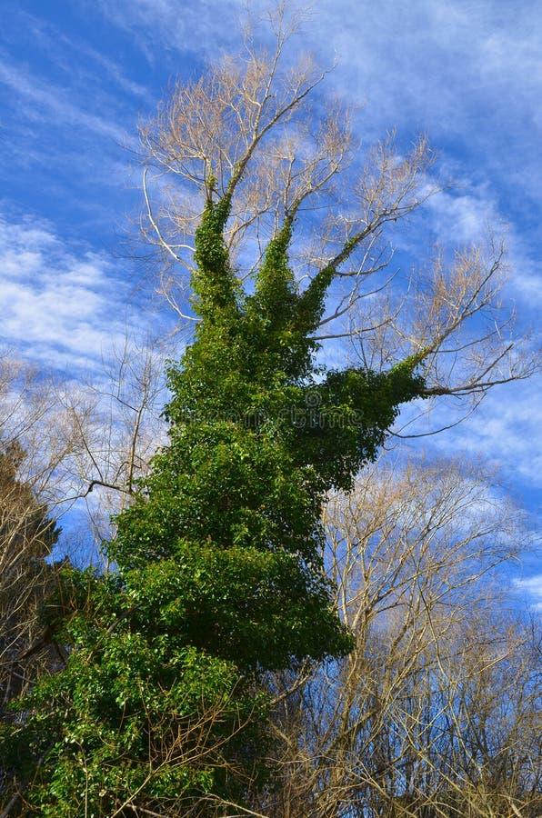 Bluszcz zakrywał drzewa w formie ręki pod niebieskim niebem obrazy stock