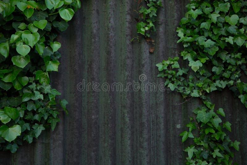 Bluszcza dorośnięcie na blaszanej jacie w Cornwall fotografia stock