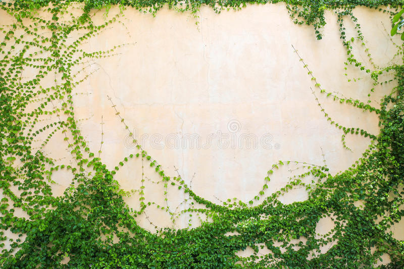 Bluszczy liście na białym tle zdjęcie royalty free