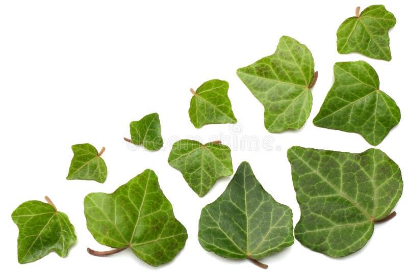 Bluszczy liście odizolowywający na białym tle Odgórny widok obraz stock