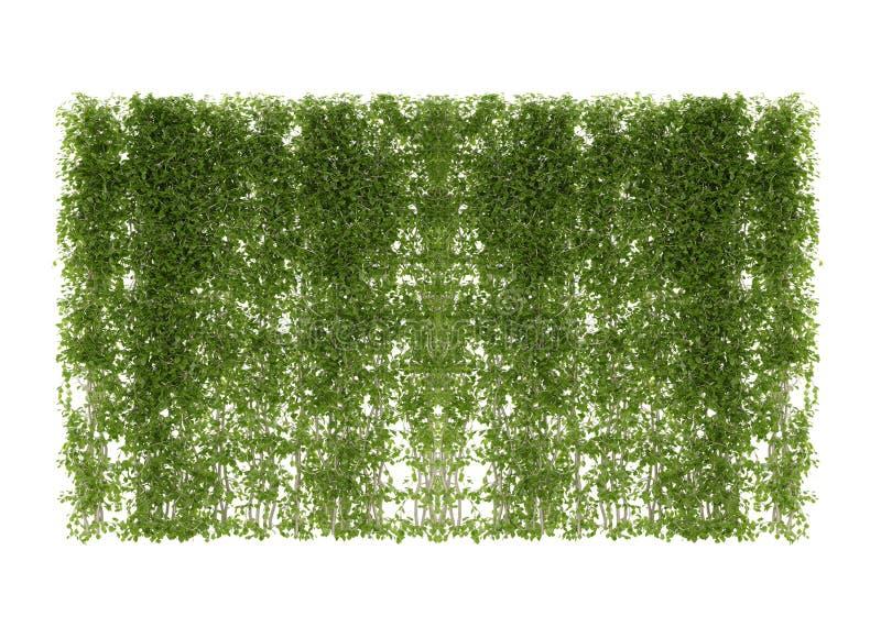 Bluszczy liście odizolowywający na bielu zdjęcia stock