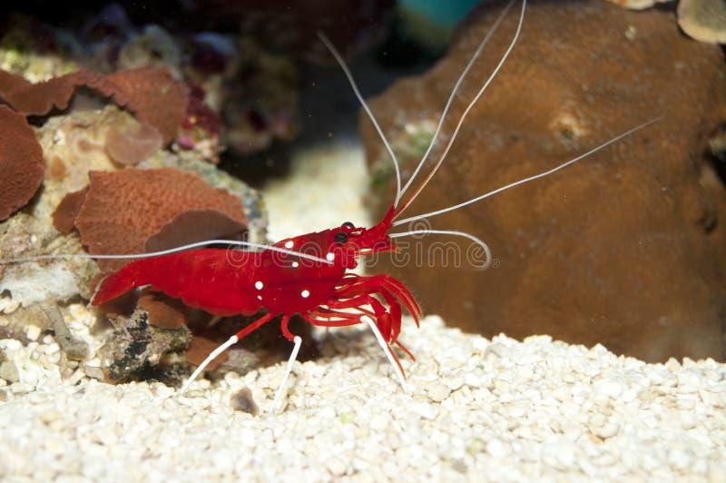 Feuer-rote Garnele Nemo stockbild. Bild von speicher