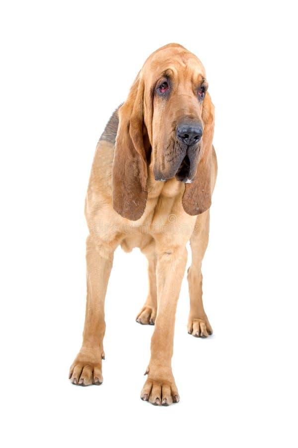 Bluthund lizenzfreie stockfotos