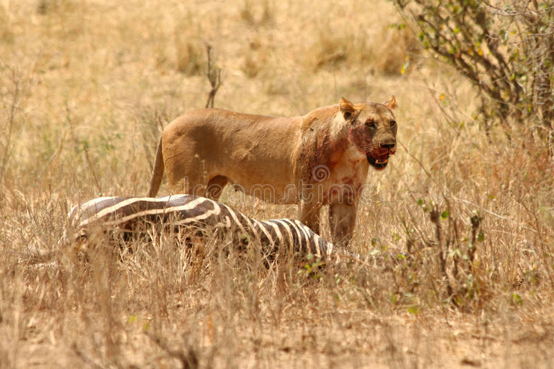 Blutige Löwin steht über Zebraabbruch lizenzfreies stockfoto
