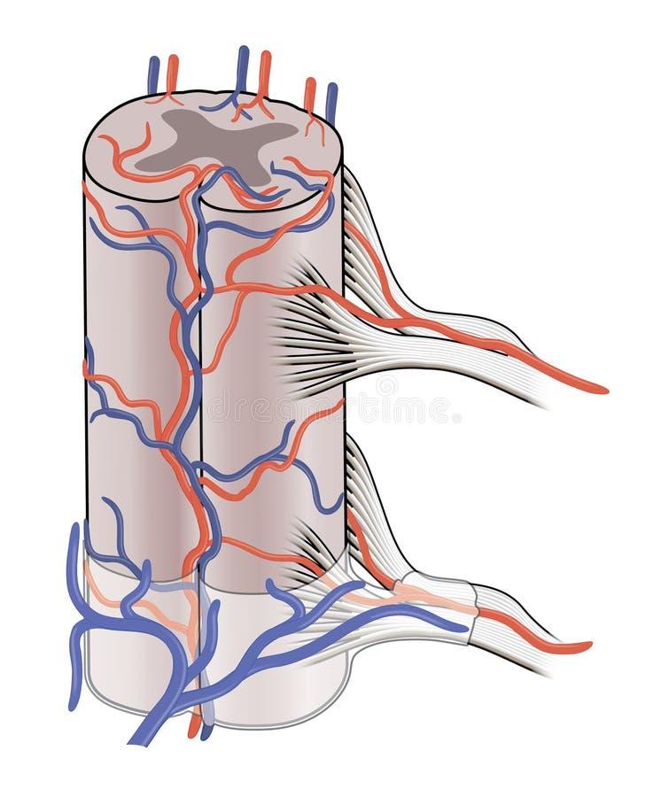 Blutversorgung Zum Rückenmark Stock Abbildung - Illustration von ...