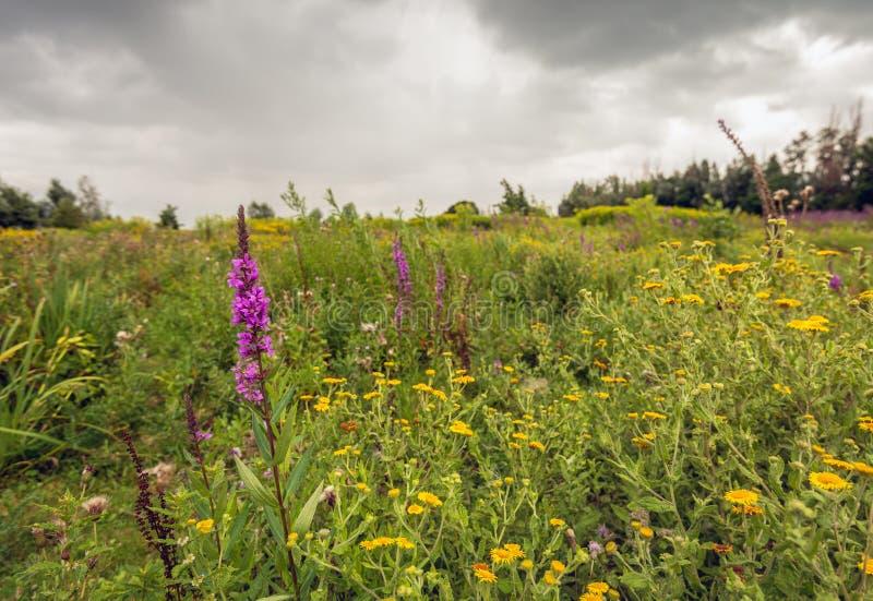 Blutweiderich und gelbes blühendes allgemeines Fleabane in einem Naturreservat lizenzfreies stockfoto