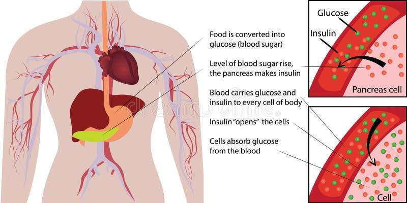 Blutzucker-Glukoseabsorption in einem menschlicher Körper infographics lizenzfreies stockbild