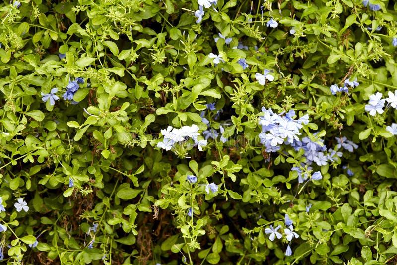 blyerts är blommande i trädgården royaltyfri bild