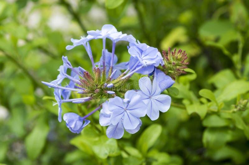 Blyertsauriculataljus - blå blomningväxt royaltyfria foton