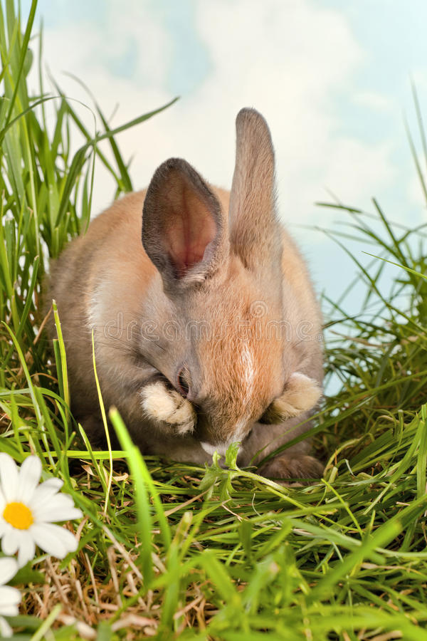 blyg kanin arkivbild