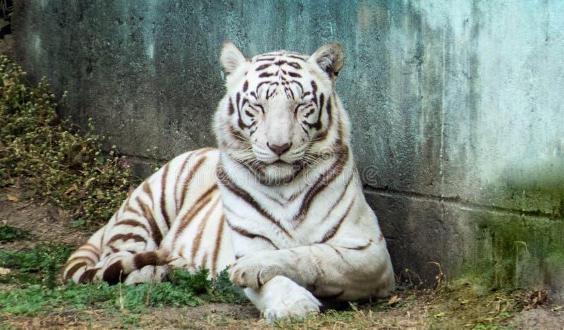 Blyg vit tigrinna som poserar för kamera-Indien arkivbild