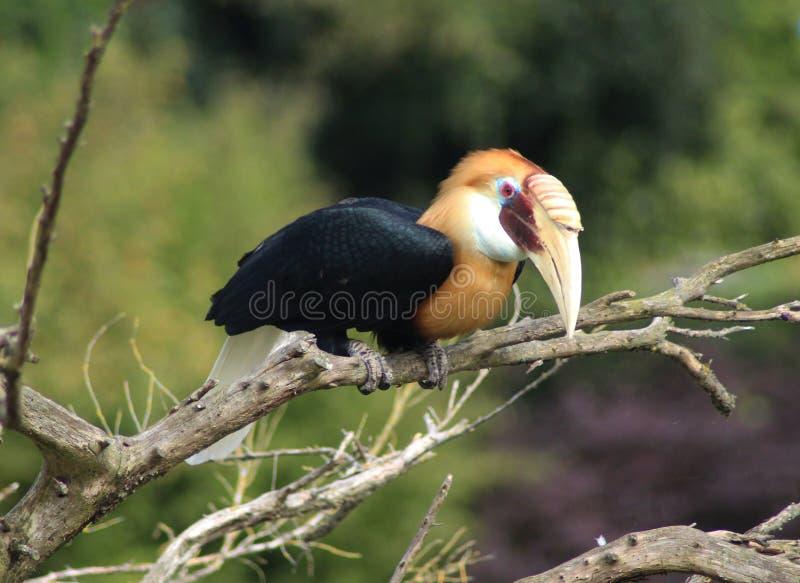 Blyths犀鸟, Rhyticeros plicatus 库存图片