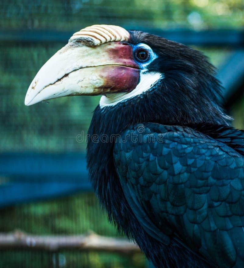 Blyths hornbill royalty free stock images