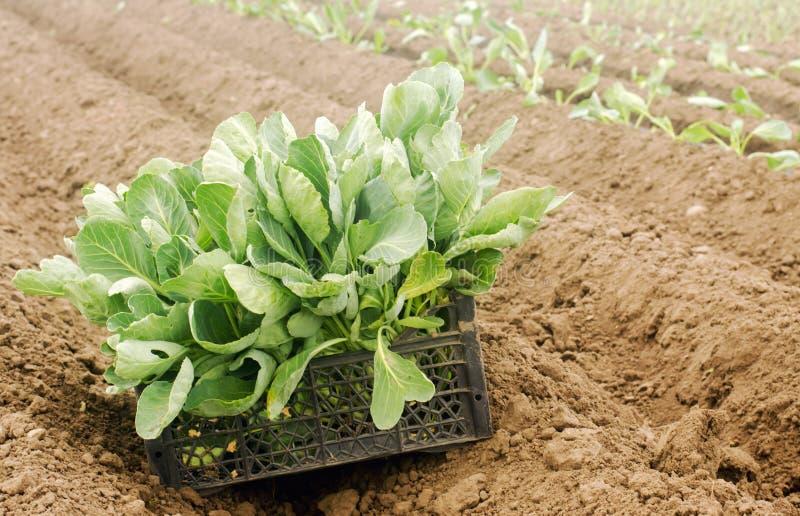 Boîte avec de jeunes jeunes plantes de chou dans le domaine Produits qui respecte l'environnement L?gumes organiques croissants A images stock