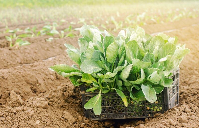 Boîte avec de jeunes jeunes plantes de chou dans le domaine Produits qui respecte l'environnement L?gumes organiques croissants C photos libres de droits