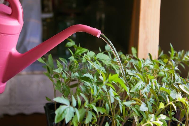 Bo?te d'arrosage ? la serre chaude de ferme Plantes de tomate photos stock