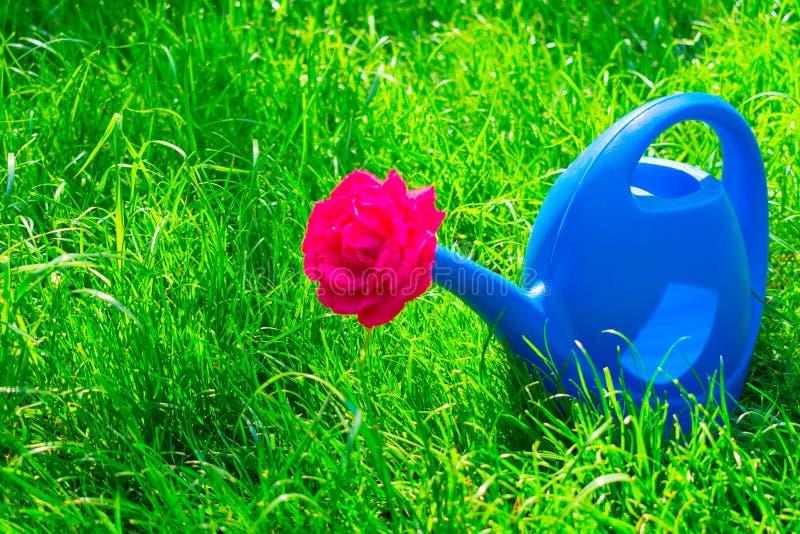 Boîte d'arrosage pour des fleurs de arrosage et une rose rouge dans elle, sur l'herbe de sélénium images libres de droits