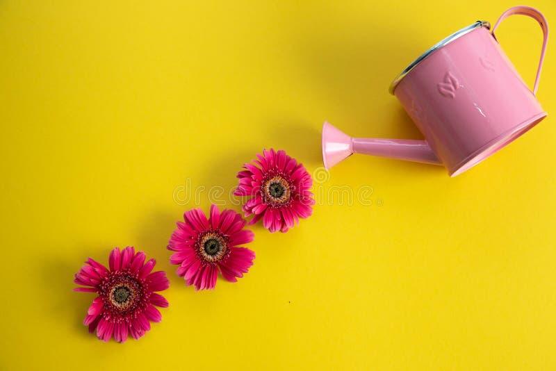 Boîte d'arrosage rose vide et trois fleurs cramoisies de gerbera se trouvant diagonalement Trois fleurs rouges et une boîte d'arr images stock