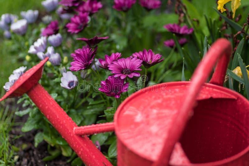 Boîte d'arrosage rouge dans le jardin le jour pluvieux d'avril photos libres de droits